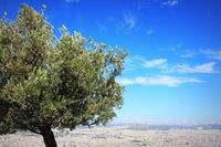 the olive tree - gift of female god Athena and symbol of city Athens - on the hill Lycavittos