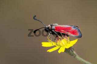 Widderchen, Zygaenidae, burnet