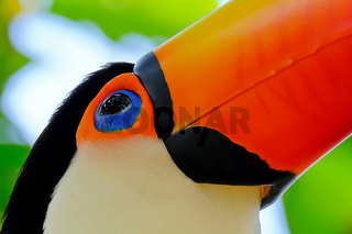 Toco Toucan, Ramphastos Toco, also known as Common Toucan, Giant Toucan, Iguazu or Iguacu, Brazil