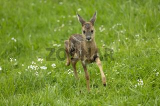 Running Deer Fawn