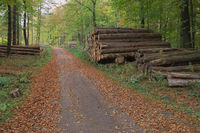 Deister - Autumnal forest path with wood piles, Germany