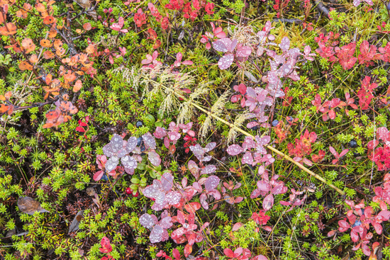 Autumn colours on the ground, Dundret nature reserve, Gellivare, Lapland, Sweden