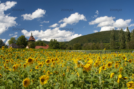 Geilweilerhof with sunflower field