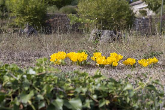 Yellow Autumn Timothy (Colchicum autumnale)