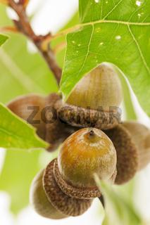 Eicheln am Zweig mit Blätter auf Weiß