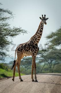 Masai giraffe crosses dirt road among trees