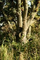branched tree trunk of an oak