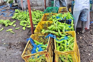 Bananen Produktion