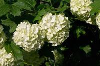 White flowers Viburnum closeup growing on bush