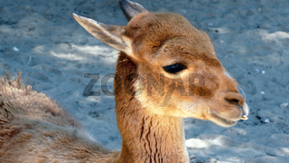 Young Vicuña