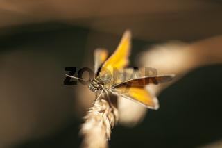Thymelicus lineola_Dickkopffalter