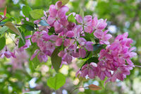 apple-tree branch with pink flowers closeup