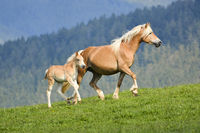 Haflinger Horse with foal