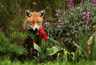 Close up of a red fox in the garden