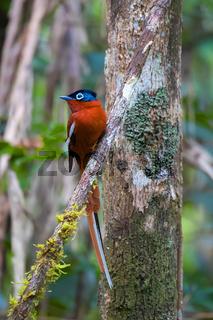 Madagascar Paradise-flycatcher, Wildlife