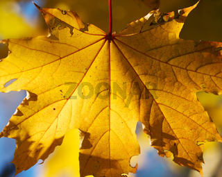 Autumn yellow sunlight maple leaf in forest