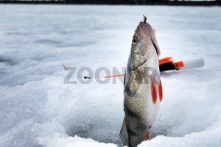 Fish perch in the hole in ice
