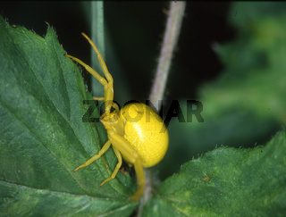 gelbe Krabbenspinne in Lauerstellung auf Blatt