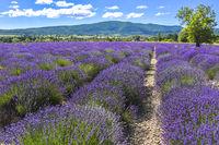 bloomy lavender rows near Sault
