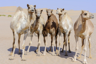 Group of camels in the Desert of Liwa, Abu Dhabi, UAE