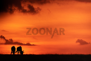 Two blue wildebeest silhouetted against orange sky