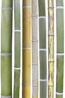 Bambusrohre, freigestellt auf weiß
