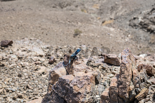 Male Sinai Agama (Pseudotrapelus sinaitus) with his sky-blue coloration