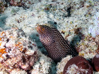 Abbott's Moray