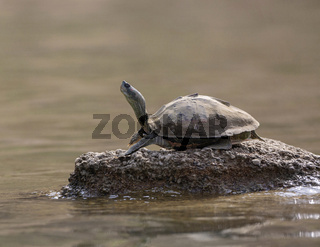 Turtle basking on the banks of Chambal river, Rajasthan, India