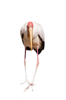 Yellow-billed stork isolated on white