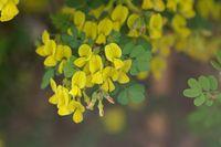 Flower of a scorpion senna