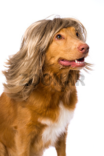 Dog with a wig on white background