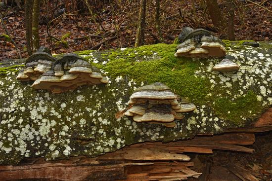 horse's hoof fungus, tinder fungus,