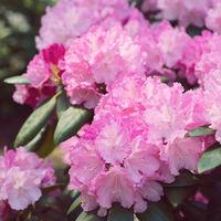 Flower Pink Rhododendron