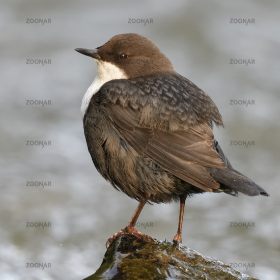White-throated Dipper * Cinclus cinclus *, perched on a rock in a wild creek