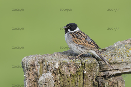 Male Common Reed Bunting, Emberiza schoeniclus, Rohrammer Maennchen