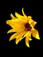Head of yellow daisy Helenium