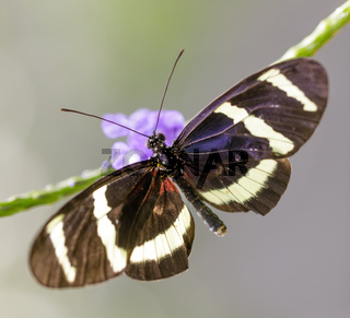 Tiger heliconian (Heliconius ismenius) perched on a leaf.