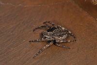 Walnut orb-weaver spider