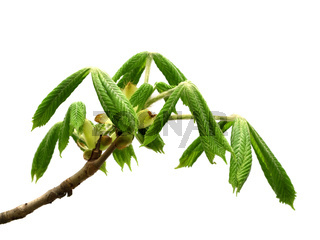 Spring twig of horse chestnut tree with young green leaves