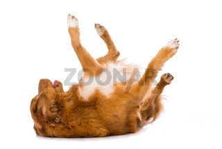 Dog makes a roll on the floor