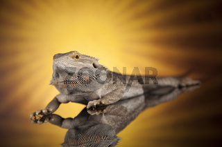 Sun background, Dragon, Agama Lizard