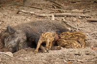 Wild boars on a clearing in the forest - the boars are nursed