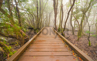 Foggy laurisilva forest in Anaga mountains