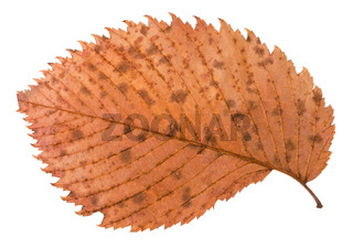 back side of autumn decayed brown leaf of elm