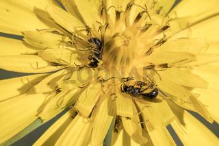 Wildbienen auf Bluete, Wild bees on flower