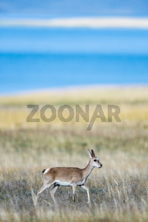 beautiful tibetan gazelle on plateau meadow