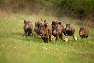 Group of wild boars, sus scrofa, running in spring nature.