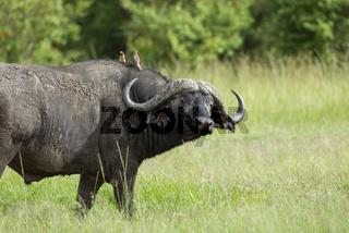 Cape buffalo, Syncerus caffer caffer and oxpeckers, Maasai Mara, Kenya, Africa.