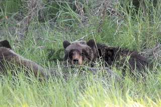 young grizzly bear canadian rockies